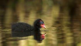 Polluelo de la polla de agua (chloropus del Gallinula) Foto de archivo libre de regalías