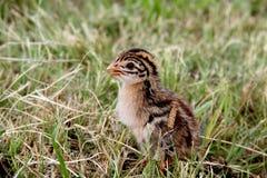 Polluelo de las aves de Guinea Imágenes de archivo libres de regalías