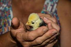 Polluelo de mano del polaco del bebé Imagenes de archivo
