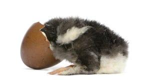 Polluelo de Marans, 15 horas de viejo, mirando en el huevo Fotografía de archivo libre de regalías