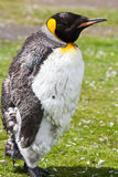 Polluelo de rey Penguin Imagen de archivo libre de regalías