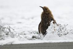 Polluelo de rey pingüino (muchacho de la estopa) - mojado Imágenes de archivo libres de regalías