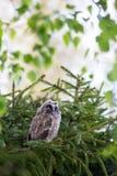 Polluelo del búho de orejas alargadas fotos de archivo libres de regalías