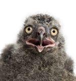 Polluelo del búho Nevado, scandiacus del bubón fotos de archivo
