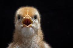 Polluelo del bebé Fotos de archivo