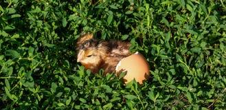 Polluelo del bebé con la cáscara de huevo quebrada y huevo en la hierba verde Foto de archivo