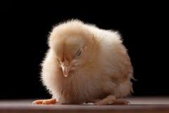 Polluelo del bebé de Buff Orpington que se levanta mientras que duerme fotos de archivo libres de regalías