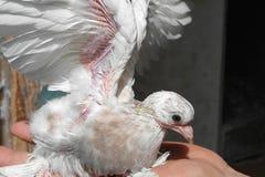 Polluelo del bebé de la paloma Foto de archivo