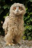 Polluelo del buho de águila Foto de archivo