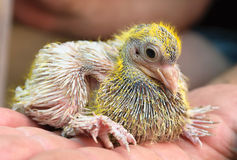 Polluelo del cheeper de la paloma Imagen de archivo libre de regalías