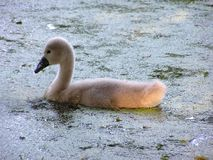 polluelo del cisne Imagen de archivo