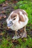 Polluelo del ganso Fotografía de archivo