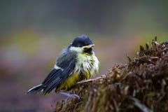 Polluelo del paro carbonero Imagenes de archivo