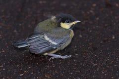 Polluelo del paro copetudo en la tierra Fotografía de archivo libre de regalías