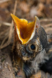 Polluelo del petirrojo imagen de archivo