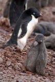 Polluelo del pingüino de Adelie en una colonia en la Antártida Imagen de archivo libre de regalías