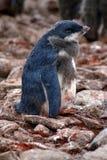 Polluelo del pingüino de Adelie en una colonia en la Antártida Foto de archivo libre de regalías