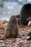 Polluelo del pingüino de Adelie en una colonia en la Antártida Foto de archivo