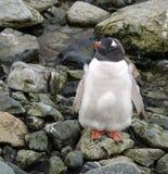 Polluelo del pingüino de Gentoo en la isla de Petermann, la Antártida foto de archivo libre de regalías