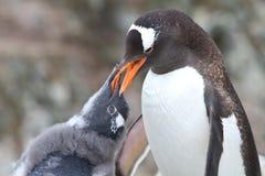 Polluelo del pingüino de Gentoo que pide la comida del de un adulto Imagenes de archivo