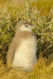 Polluelo del pingüino de Magellanic en Patagonia Fotografía de archivo libre de regalías