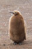 Polluelo del pingüino de rey Fotografía de archivo