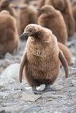 Polluelo del pingüino de rey en Georgia del sur, la Antártida Imagen de archivo