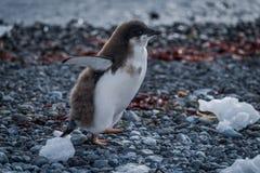 Polluelo del pingüino de Adelie que corre a lo largo de la playa pedregosa Imagen de archivo libre de regalías