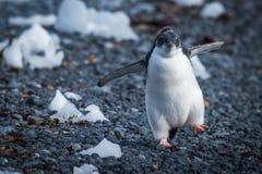 Polluelo divertido del pingüino del adelie que corre en piedras Imágenes de archivo libres de regalías