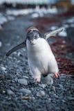 Polluelo divertido del pingüino del adelie que corre en tabla Imagen de archivo