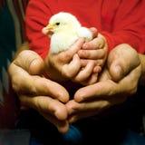 Polluelo en las manos del niño Foto de archivo libre de regalías
