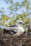 Polluelo ferruginoso joven del halcón Foto de archivo libre de regalías