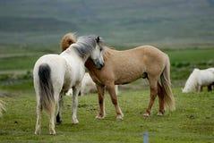 Polluelo islandés de los caballos el uno al otro Imagen de archivo