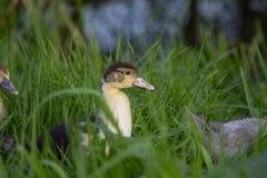 Polluelo joven del pato de muscovy que cruza la alta hierba, malas hierbas, followi foto de archivo libre de regalías