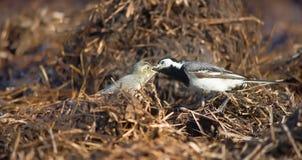 Polluelo lactescente del Wagtail Fotografía de archivo