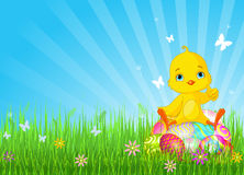 Polluelo de Pascua que se sienta en los huevos Imágenes de archivo libres de regalías