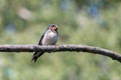Polluelo lindo del trago de granero que se encarama en rama fotos de archivo libres de regalías