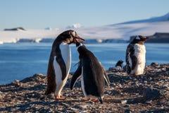 Polluelo, mar y montañas de alimentación del pingüino de Gentoo en el fondo, S Fotos de archivo libres de regalías