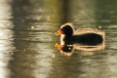 Polluelo oscuro de la polla de agua Fotografía de archivo libre de regalías