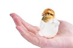 Polluelo recién nacido Fotos de archivo libres de regalías