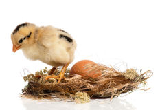 Polluelo recién nacido Foto de archivo libre de regalías