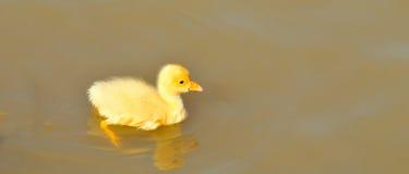 Polluelo recién nacido Imagen de archivo