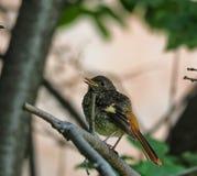 Polluelo Redstart Fotografía de archivo libre de regalías