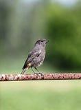 Polluelo Redstart negro Imágenes de archivo libres de regalías