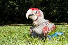 polluelo Rojo-y-verde del macaw (chloroptera del Ara) Fotos de archivo libres de regalías