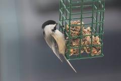 Polluelo-uno-dee en alimentador Imagen de archivo