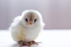 Polluelo viejo del bebé del día Imagen de archivo libre de regalías