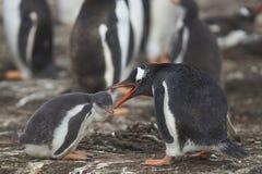 Polluelo y adulto del pingüino de Gentoo en una isla más triste Fotografía de archivo