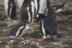 Polluelo y adulto del pingüino de Gentoo en una isla más triste Fotografía de archivo libre de regalías