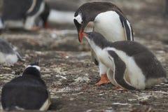 Polluelo y adulto hambrientos del pingüino de Gentoo en una isla más triste Foto de archivo